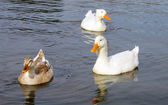 Ducks swimming — Stock Photo
