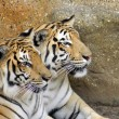 Royalty-Free Stock Photo: Tigers