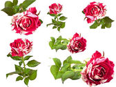 A collage of roses. — Stock Photo
