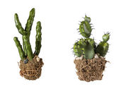 Collage with cacti — Stock Photo