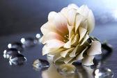 Dahlia, beautiful flower background — Stock Photo