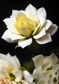 Flower Dahlia macro — Stock Photo