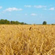 Wheaten field, — Stock Photo #11435745
