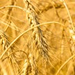 Wheaten field — Stock Photo #11436492