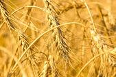 Wheaten field — Stock Photo