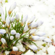 Spring flowers, snowdrops against thawed snow — Stock Photo