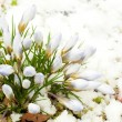 Spring flowers, snowdrops against thawed snow — Stock fotografie