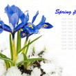 Foto Stock: Spring flowers, irises on a white background