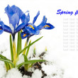 Stok fotoğraf: Spring flowers, irises on a white background