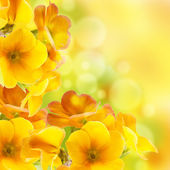 Yellow flowers on a white background, a spring primrose — Photo