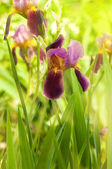 Pink irises against a green grass, a summer butterfly — Stockfoto