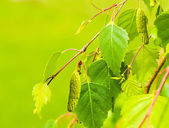 A birch is in spring with green leaves and rings — Stock Photo