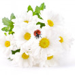 White flowers, field camomiles with ladybug on a white background — Stock Photo #11575036