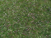 Petals on the green grass, Regent's Park, London, background — Stock Photo