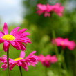 Pink european daisies on green blurred background - Stock Photo