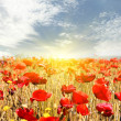 Red poppies on meadow — Stock Photo #11387527