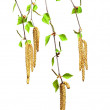 Birch with young spring leaves and buds - Stock Photo