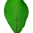 Stock Photo: Cherry leaf