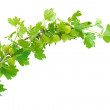 Gooseberry branch isolated on white - Stock Photo