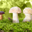 Mushrooms in the moss - Stock Photo