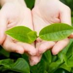 Fresh tea leaves in hands over tea bush on plantation — Stock Photo #11388891