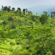 Tea plantation at Ceylon — Stock Photo