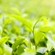 Green tea leaves on plantation at Ceylon — Stock Photo