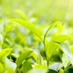 Green tea leaves on plantation at Ceylon — Stock Photo