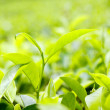 Tea leaf on plantation — Stock Photo