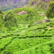 Royalty-Free Stock Photo: Tea plantation at Ceylon