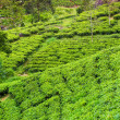 Tea plantation at Ceylon — Stock Photo