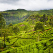 Tea plantation at Sri Lanka — Stock Photo