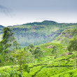Tea plantation at Ceylon — Stock Photo #11388916
