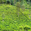 Tea plantation at Ceylon — Stock Photo #11388924