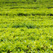 Tea plantation — Stock Photo #11388926