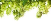 Green fresh hop border isolated on white — Stock Photo