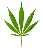 Cannabis leaf isolated on a white background — Stock Photo