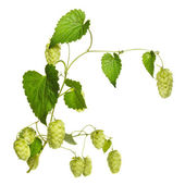 Hop branch isolated on white — Stock Photo