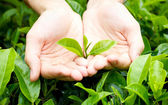 Fresh tea leaves in hands — Stock Photo