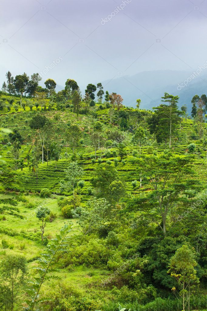 Tea plantation at Ceylon  Stock Photo #11388896