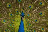 Primer plano de un pavo real — Foto de Stock