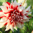 Dahlia.Indoor and greenhouse plants on a green background — Stock Photo