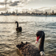 Royalty-Free Stock Photo: The Black swan in the ocean. Melbourne