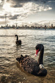 The Black swan in the ocean. Melbourne — Stockfoto