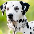 Stock Photo: Beautiful young dalmatidog in nature