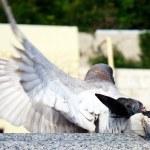 Act of dove sex — Stock Photo