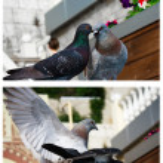 Doves kissing — Stock Photo