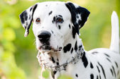 Beautiful young dalmatian dog in nature — Stock Photo
