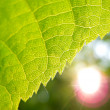 Green leaf and sun — Stok fotoğraf