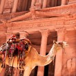 Camel against treasury — Stock Photo